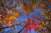Colorful autumn trees canopy in fall forest with blue sky from below. Algonquin Park, Ontario, Canad