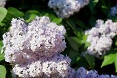 image of lilac bush  - abstract flowers on bushes of a blossoming lilac in the spring - JPG
