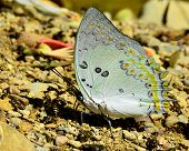 Beautiful Jewelled Nawab Butterfly In Nature Environment With Sharp Details