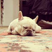 Adorable French Bulldog Sleeping