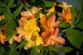 Close-up of Flame Azaleas - Rhododendron calendulaceum
