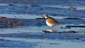pic of killdeer  - A single Killdeer wading in a small tidal pool with ripples