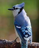 Fall Perching Blue Jay