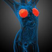 3D Render Medical Illustration Of The Human Breast
