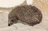 Small Hedgehog On Stone Floor.