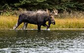 A Bull Moose in the River
