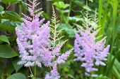 Astilbe Flowers Closeup