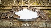 image of rats  - Holy rats sipping milk in Karni Mata Temple (The rat temple) Deshnoke Rajasthan India