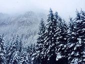 Snowy  fir-trees