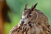owl close up portrait outdoor