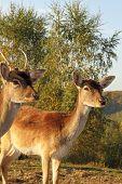 Fallow Deer Hind Portrait