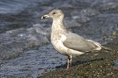 Glaucous-winged Gull On The Shore Of The Pacific Ocean Autumn