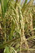 Ripe Rice Grains In Asia Before Harvest