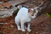 white cat pooping on red soil