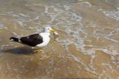Seagull With Fish In The Beak, Eating On The Beach In Water, Sea