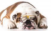 dog wearing glasses on white background - english bulldog