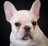 french bulldog puppy portrait on black background