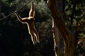 Gibbon hanging on a rope
