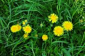 Taraxacum  - genus of perennial herbaceous plants in the family Asteraceae or Compositae (Asteraceae
