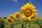 Sunflower  Field to beautiful