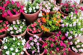 Beautiful Various Blooming Multicolored Impatiens Flowers In Containers, Closeup