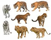 Collection Of  Big Cat (panthera)