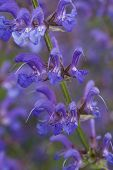 picture of blue-salvia  - a drought tollerant blue summer indigo salvia flower - JPG