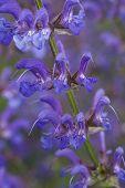 picture of blue-salvia  - a drought tollerant blue summer indigo salvia flower - JPG