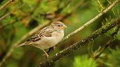 stock photo of songbird  - Songbird living in the countryside perched on a branch - JPG