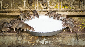 image of rats  - Holy rats sipping milk in Karni Mata Temple (The rat temple) Deshnoke Rajasthan India ** Note: Soft Focus at 100%, best at smaller sizes - JPG