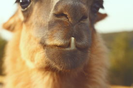pic of wacky  - closeup of llama ( Lama glama ) teeth vintage instagram look ** Note: Soft Focus at 100%, best at smaller sizes - JPG