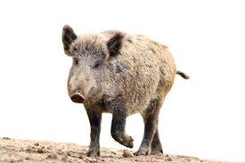 stock photo of boar  - wild boar coming towards the camera  - JPG
