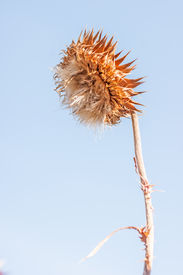 picture of nod  - Musk thistle  - JPG