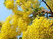 picture of cassia  - Golden shower tree National Tree of Thailand Cassia fistula Family Fabaceae