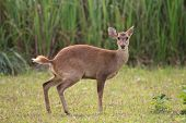 stock photo of wild hog  - Hog deers in the forest of Thailand - JPG
