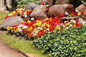 stock photo of begonias  - colorful begonia - JPG