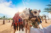 pic of hump day  - Camel in Egypt on a blue sky background - JPG