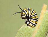 stock photo of monarch  - Closeup of a Monarch caterpillar feeding on a Milkweed leaf - JPG