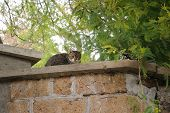 image of tabby cat  - A striped tabby cat on a wall brown old wall made out of bricks - JPG