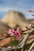 foto of dogwood  - Flowering Dogwood among the rock layers in Zion National Park - JPG