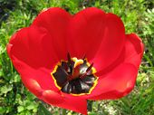 image of dnepropetrovsk  - the growing tulip in Dnepropetrovsk city flowerbed