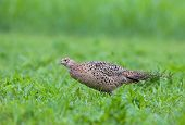 image of pheasant  - Photo of female pheasant in a grass - JPG