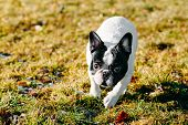 pic of french bulldog puppy  - Beautiful French Bulldog Puppy Dog Pup Puppy Whelp Outdoor In Spring  - JPG