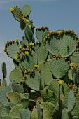 Cactus Plant With Flowers And Buds On Leaves