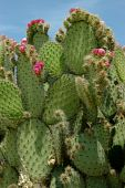 Cactus With Small Pink Flowers