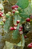 Ripe And Unripe Fruits On The Cactus Leaves.