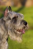 picture of schnauzer  - Portrait of beautiful grey standart schnauzer dog - JPG