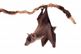 stock photo of vampire bat  - Egyptian fruit bat or rousette Rousettus aegyptiacus - JPG