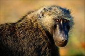 Portrait Of A Baboon.