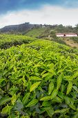 foto of cameron highland  - Tea plantation Cameron highlands in the India - JPG
